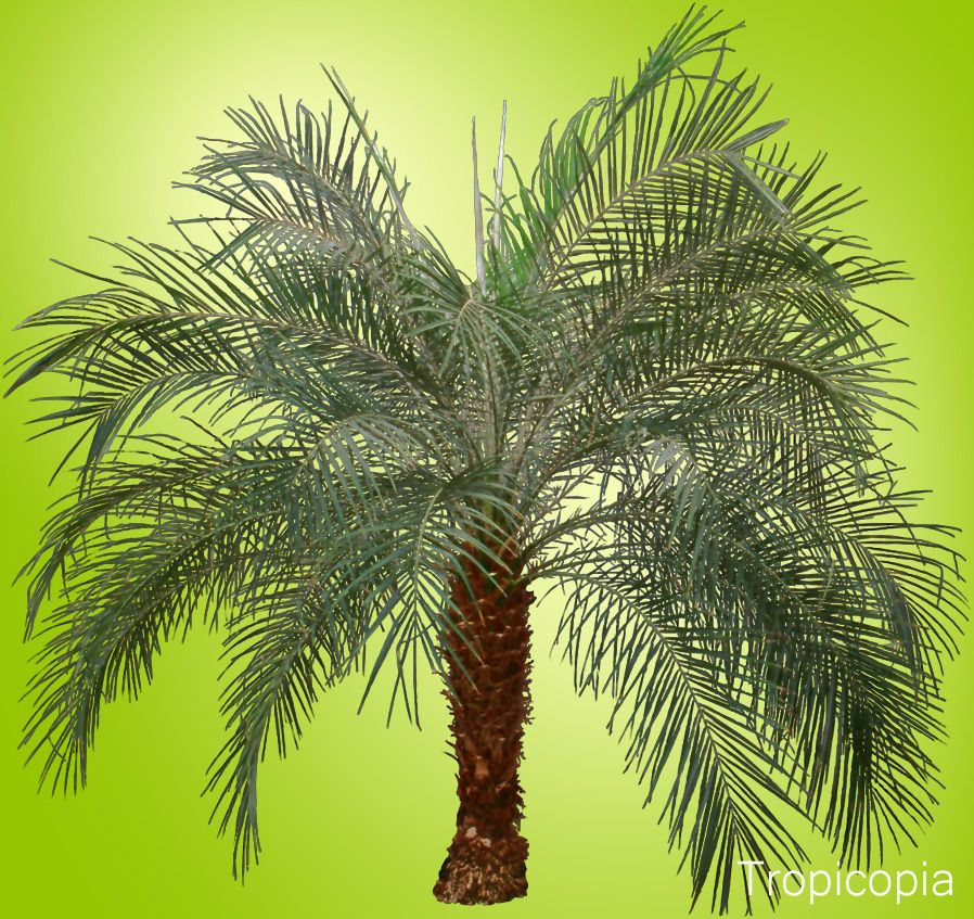 Green, arching Date Palm Date palm, Palm plant care