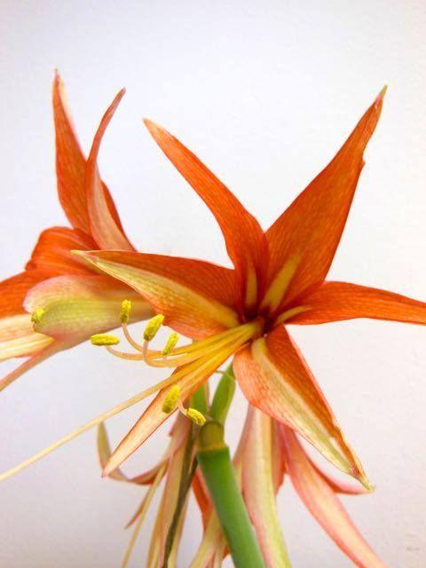 Vitezova zvezda z eksotičnimi cvetovi. Sorta Hippeastrum cybister 'Sumatra'.