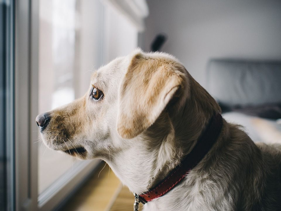 How to train your dog to stay home alone #dogs #anxiety