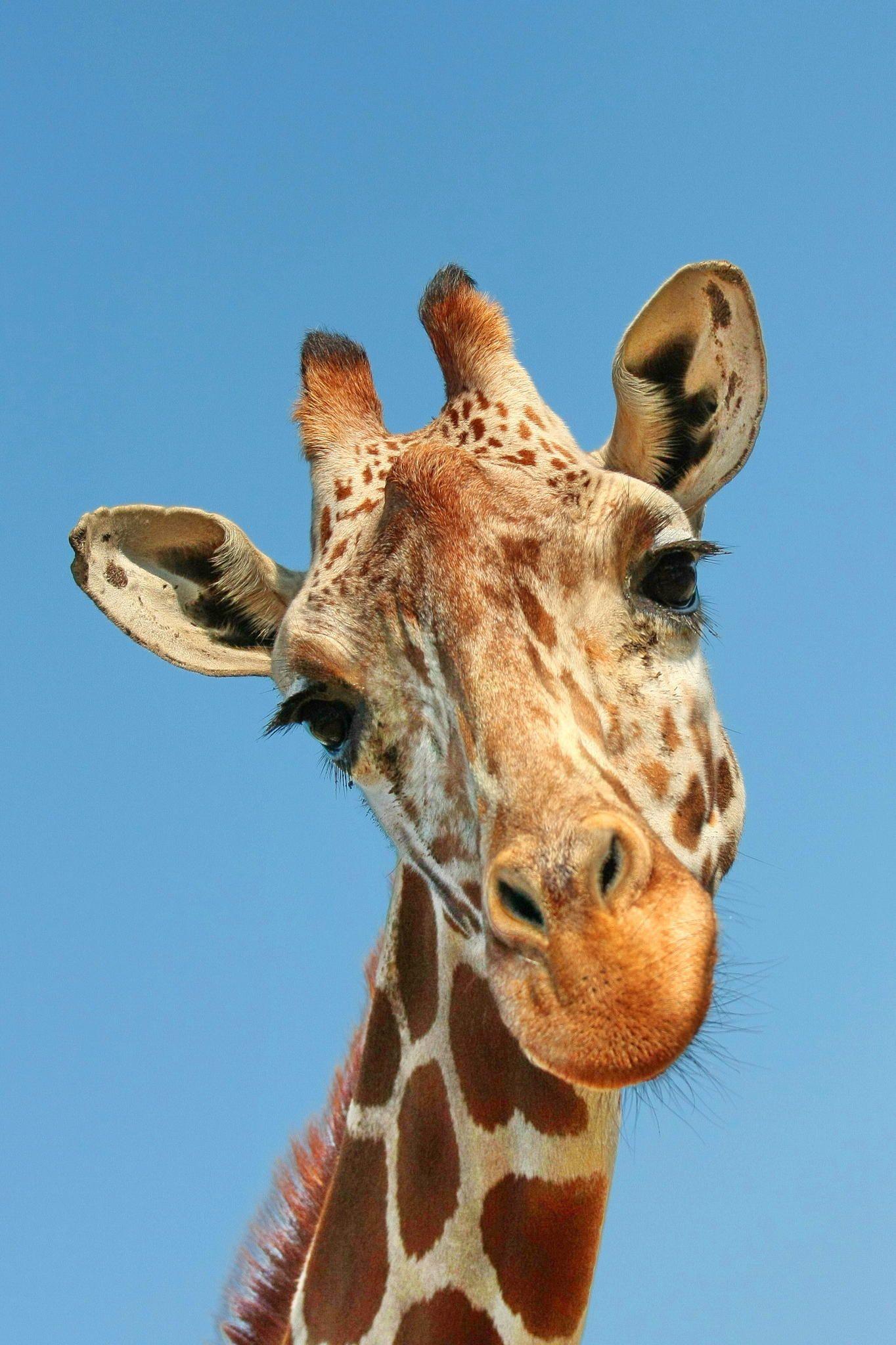 картинки с жирафчиком всех круизах всегда