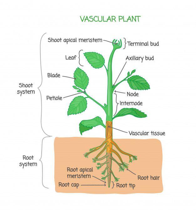 Plant Biological Structure Diagram | Vascular plant ...