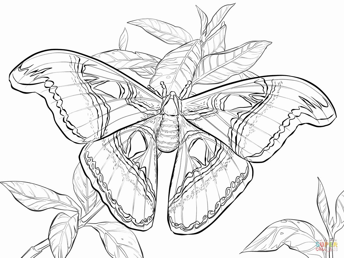 Idea By Helen Gilbertson On Butterfly Drawing In 2020 Atlas Moth