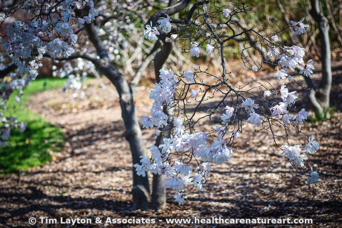 Magnolia Tree Spring Flowers Missouri Botanical Gardens St