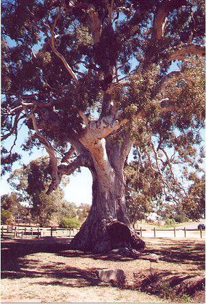 The Big Tree Guildford Central Victoria Australia This River