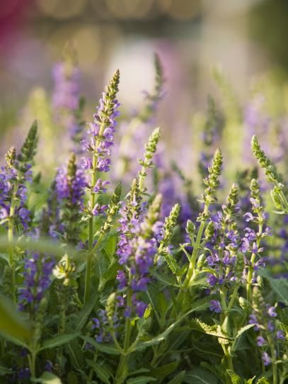 Fragrant Options For The Garden Growing Lavender 400 x 300