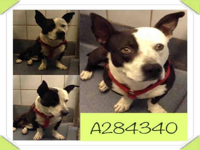 San Antonio, TX *Extremely Urgent @Rishi Saikia Saikia Shah of Euthanasia! **Needs Commitment by 5PM & Picked Up by 6:30PM WED 2/26!** To adopt, foster/ rescue please email: placement@sanantoniopetsalive.org  284340 - Chuy is a 5yr old stocky Bull Terrier X and weighs 45lbs approx. He is mixed with something that gave him stubby basset hound legs and its SO cute!! He is desperate for love and friendly. He will benefit a little from leash training but that's just because he wants to go home!