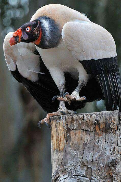 Sarcoramphus Papa Ave El Zopilote Rey Tambien Llamado Condor De