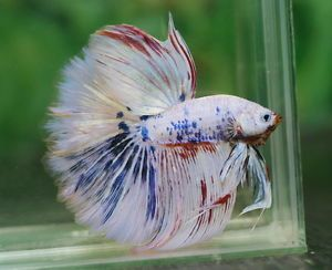 Show Quality Betta Fish   Details About Imported Unique Giant Male Halfmoon Betta Feather Tail