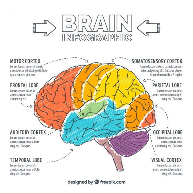 Infografía de cerebro pintado a mano | ANATOMIA/FISIOLOGIA ...