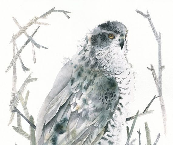 Northern Goshawk Archival Limited Edition Print by amberalexander, $35.00