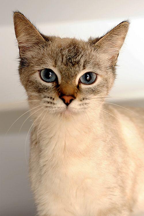 Female Siamese Named Egypt Available For Adoption Cat Adoption Animal Sanctuary Animal Society