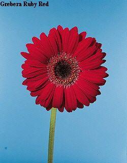 Gerbera Daisy Plantacao