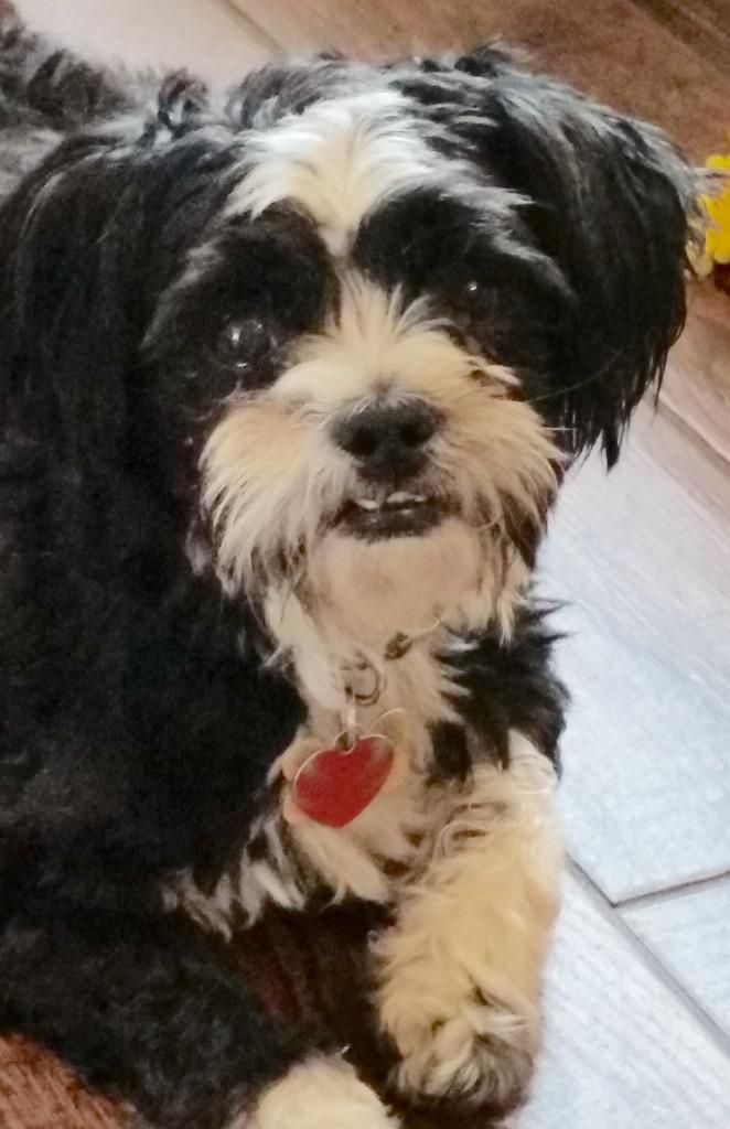 Rumples Is An Adoptable Shih Tzu Searching For A Forever Family Near