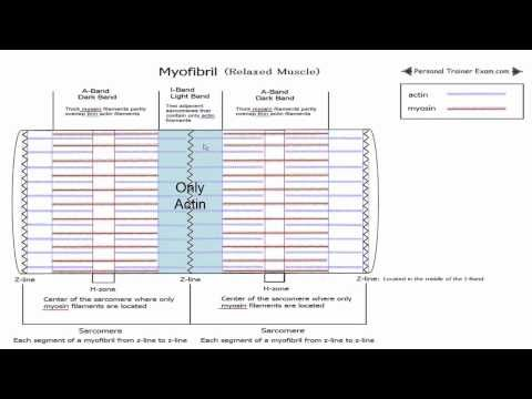 Sliding Filament Theory Part 1 NSCA Certification   NSCA-CPT ...