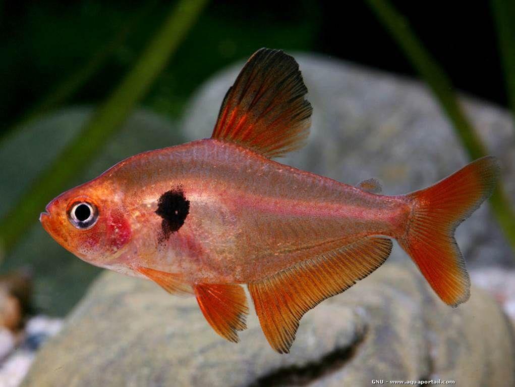 Serpae Tetra Tropical Fresh Water Tetra Fish Aquarium Fish Fresh Water Fish Tank