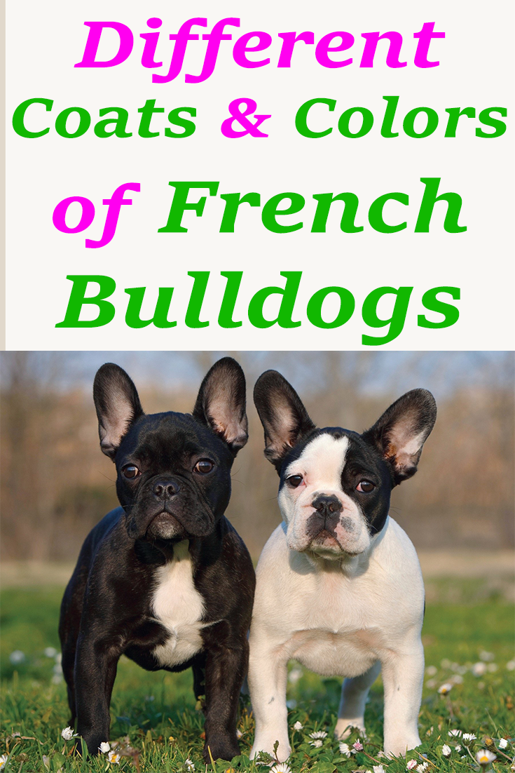 The Different Coats And Colors Of French Bulldogs