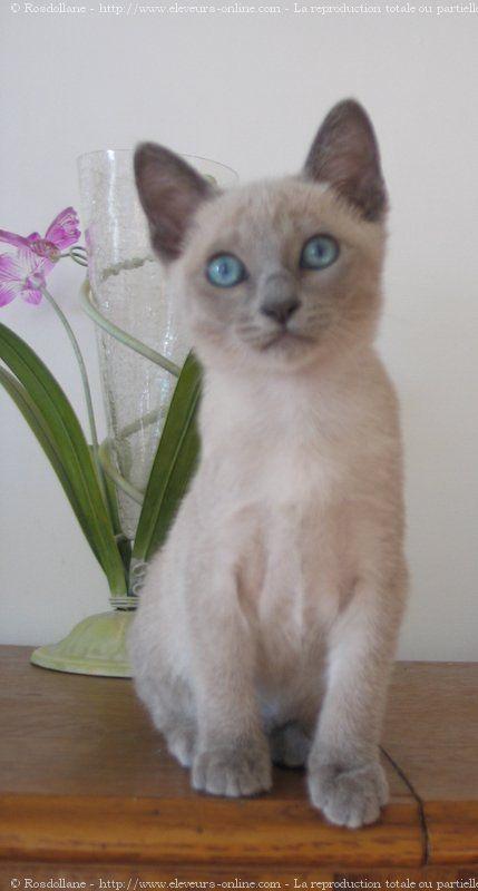 Photo Chat De Race Tonkinois Poil Court Bianca Eleveurs Online Com Pretty Cats Tonkinese Cat Cute Animals