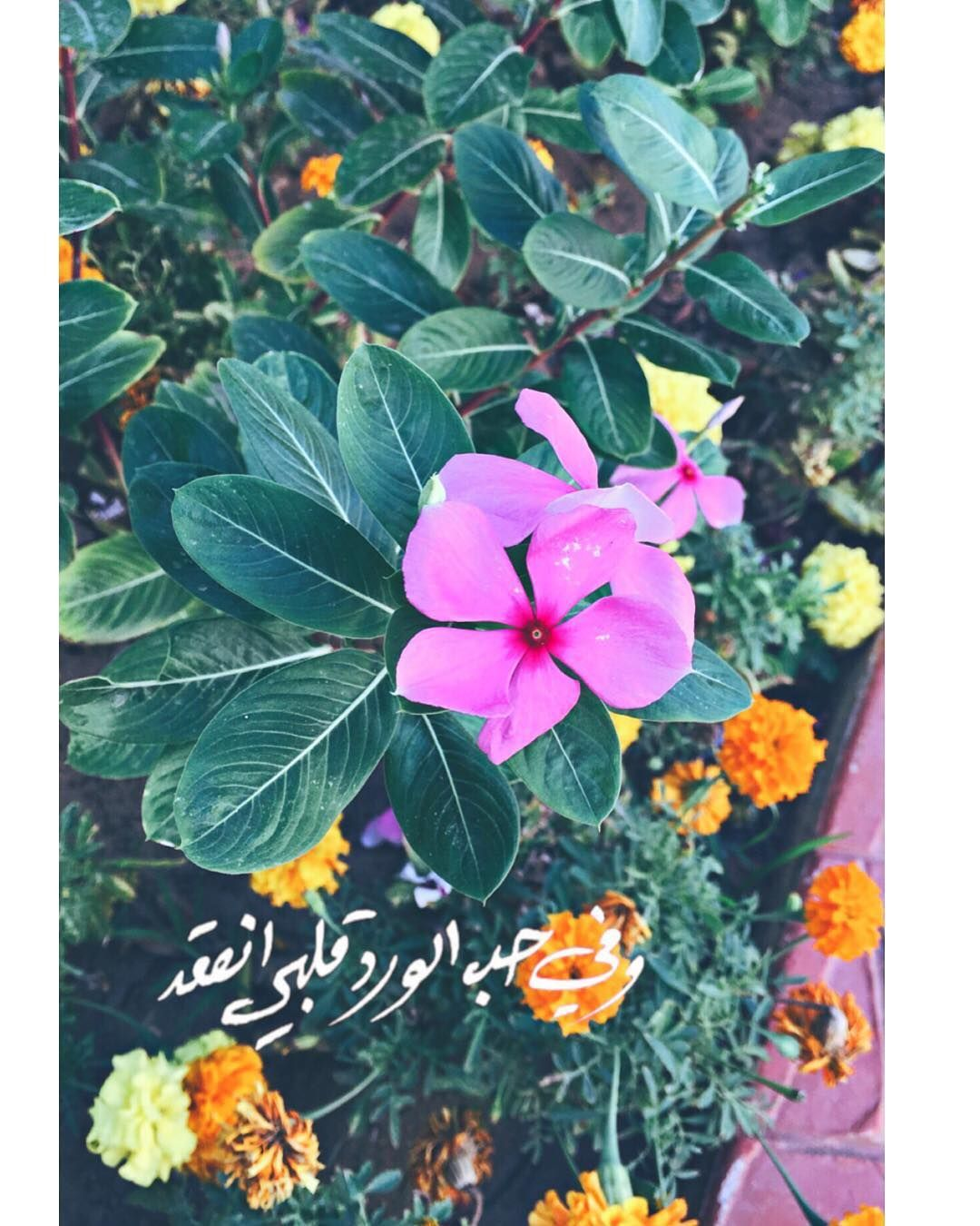 وفي حب الورد قلبي انعقد لقطة Flowers Pictures Cicek وفي حب الورد قلبي انعقد لقطة Flowers Pictures Cicek Plant Leaves Flowers Plants