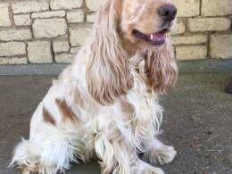cocker spaniel puppies   Dartford, Kent   Pets4Homes