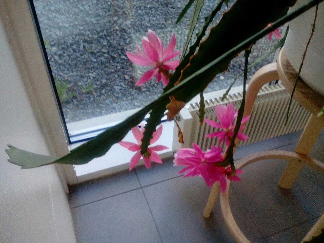 Kaktuksen kauniit kukat. 🌞