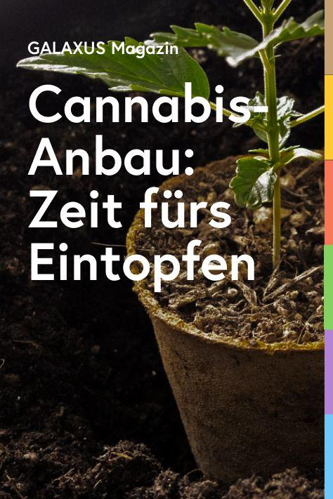 Nach zwei Wochen Dauer-Sonnenschein bekommen die Cannabis-Pflänzchen ein Upgrade. Die Zutaten: 13-Liter-Pflanztöpfe, Steine, Erde und Vogelsand. Letzteres dient als Abwehr gegen lästiges Getier.