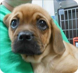 Salisbury Md Beagle Pug Mix Meet Hoss A Puppy For Adoption