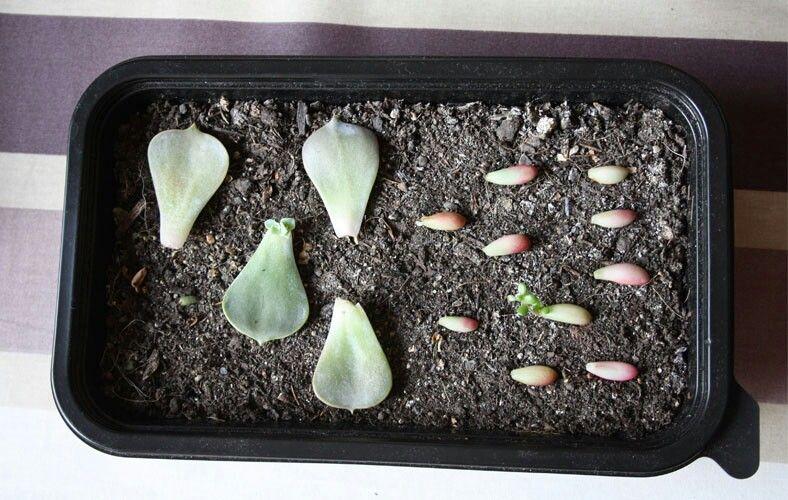 Bouturage de succulentes (parfaitement détaillé)