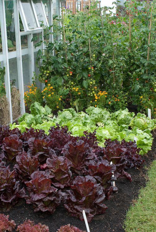 Lettuce Webb S Wonderful Tomato Shirley Red Lettuce Stealth