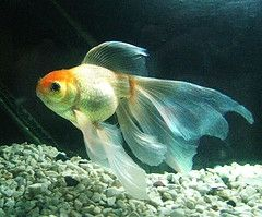Veiltail Oranda Goldfish Oranda Goldfish Goldfish Aquarium Fish