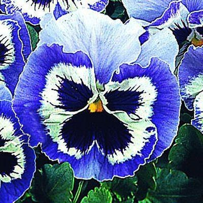 Pansy Snowpansy Blue White Pansy Flower Seeds Pansies Flowers Flower Seeds Pansies