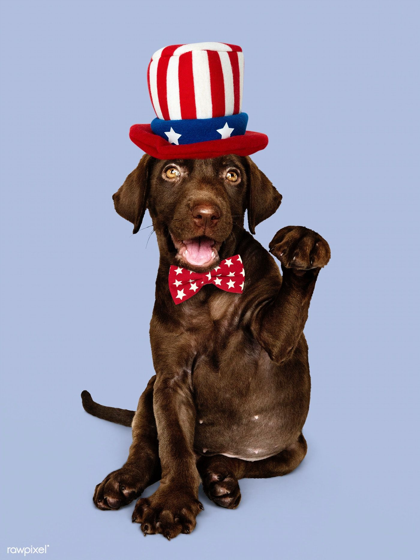 Download Premium Image Of Cute Chocolate Labrador Retriever In Uncle Sam Chocolate Labrador Retriever Labrador Dog Labrador Retriever Puppies