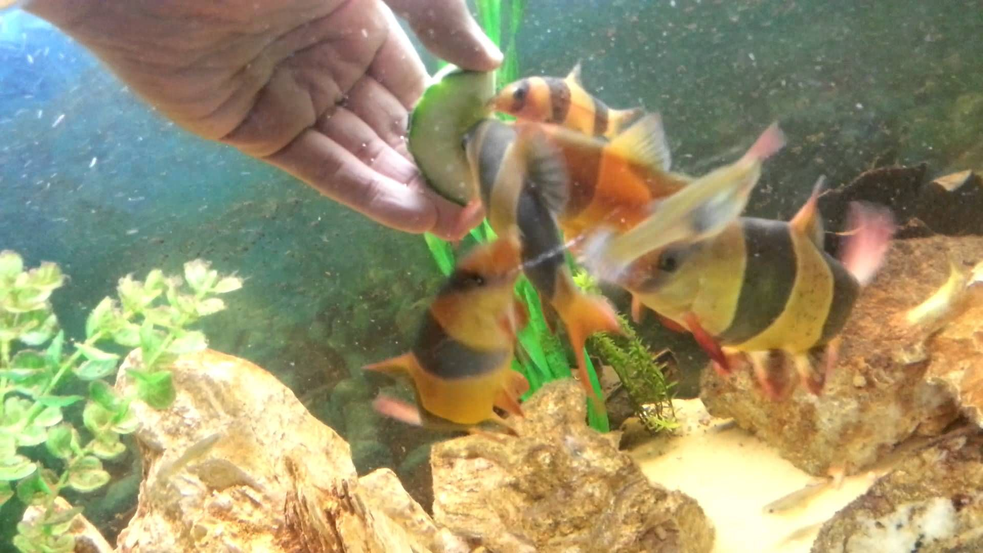 Clown Loach For Sale Haverhill Clown Loach Oscar Fish Beautiful Fish