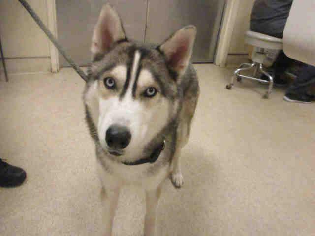 Austin Male Aca Siberian Husky Full Price 725 00 Deposit
