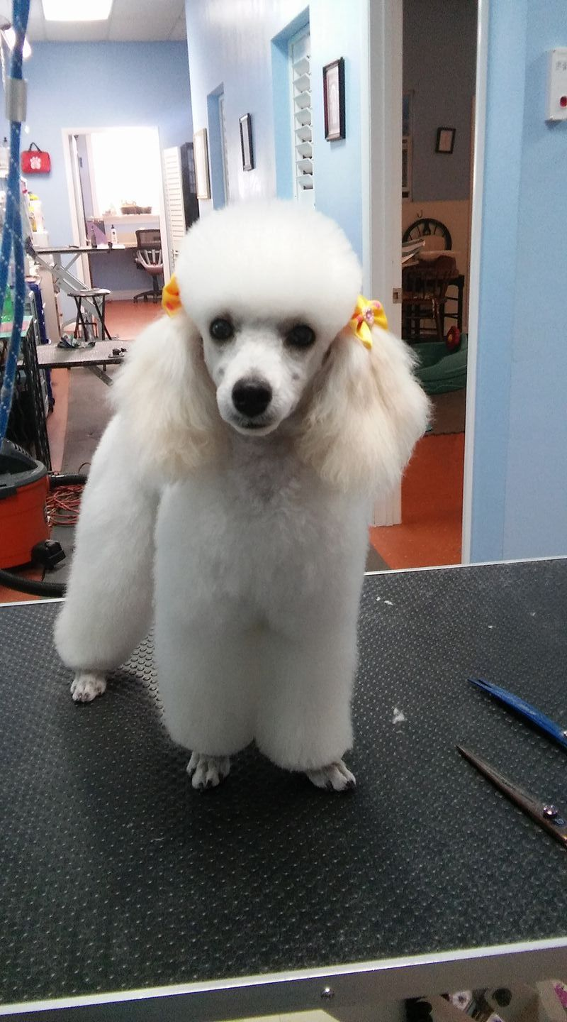 Pin by Mary Jacobs on Tres Jolie I love dogs, Poodle