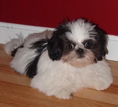 Shih Tzu Pug Mix Animals Pinterest Shih Tzu Shih Tzu Mix And Dogs