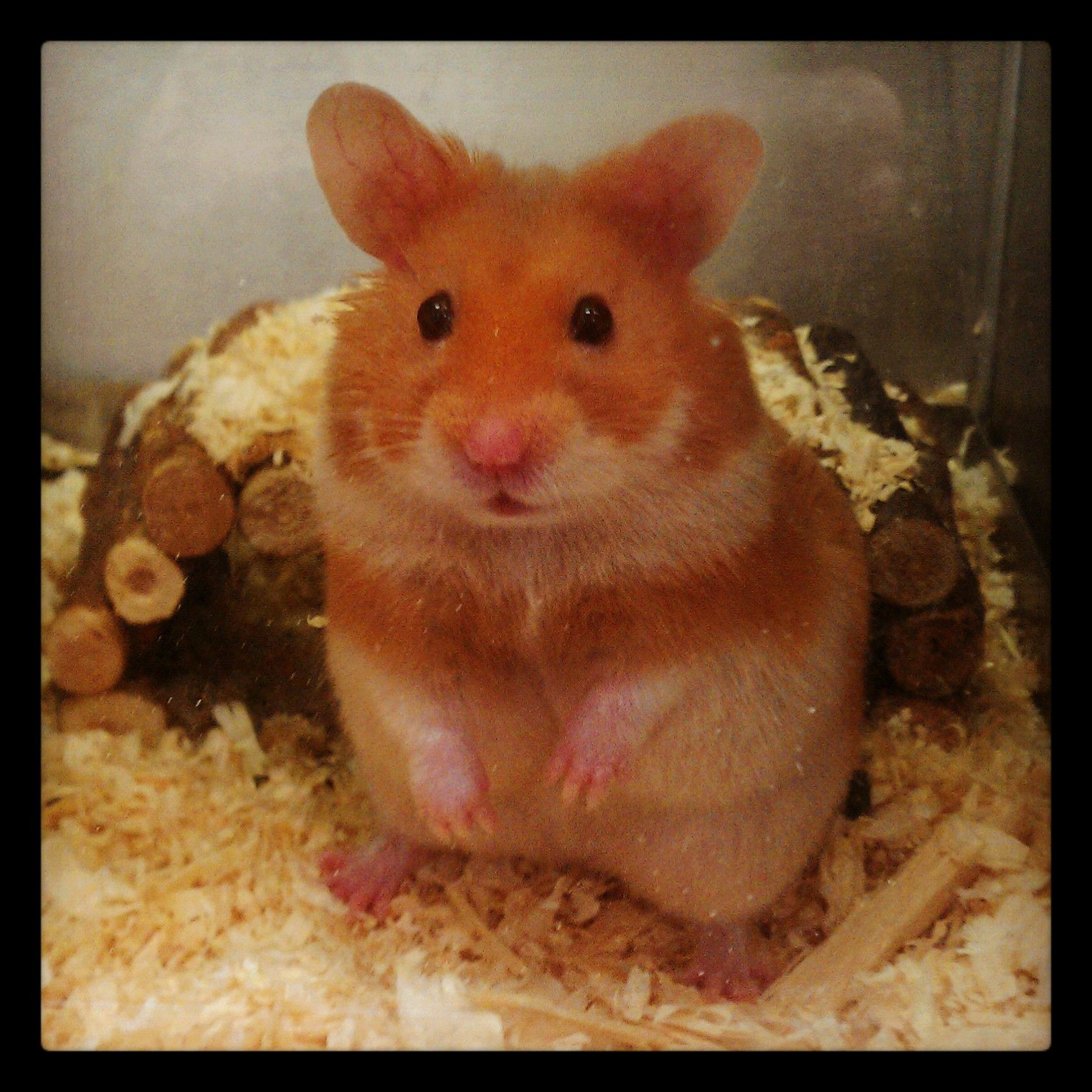 Syrian Hamster short haired cinnamon