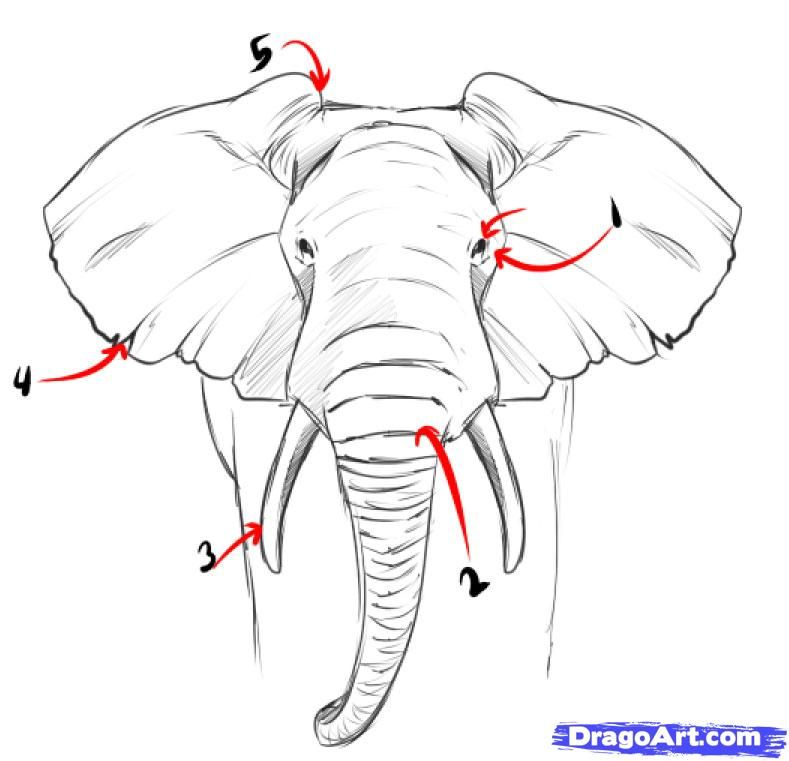 Google image result for http www dragoart com tuts pics 9 5935 33303 how to draw a realistic elephant step 2 jpg