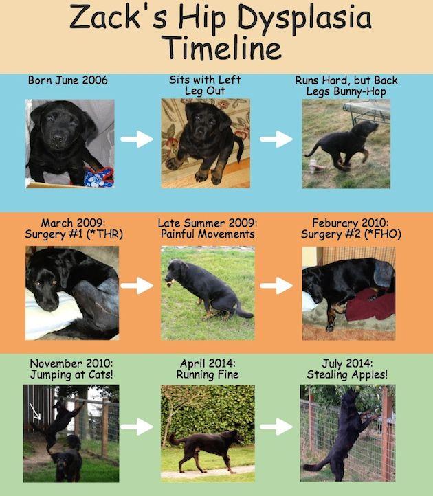 Hip Dysplasia Timeline Dog Travel Hip Dysplasia Dogs