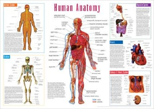 Printable human bones diagram free vehicle wiring diagrams printable human anatomy diagram the human skeleton pinterest rh pinterest ca printable human eye anatomy diagram ccuart Gallery