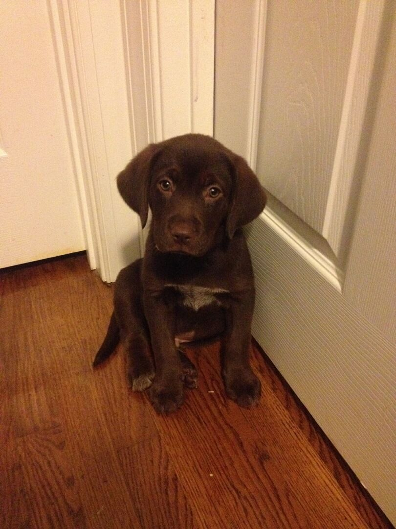 My Sister Found Maddux Sitting Outside My Bedroom Door One Night He Thought I Was Inside And Wouldn T Let Him In But I Wa Beagle Mix Beagle Chocolate Lab Mix