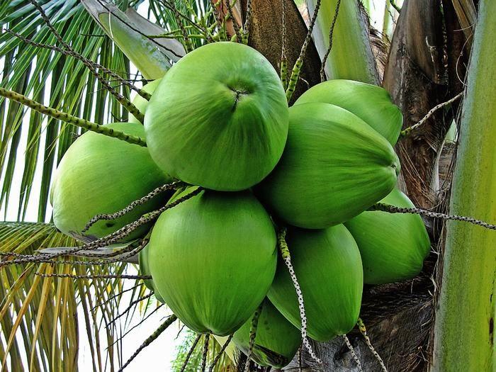 8 Bons Motivos Para Tomar Água de Coco | Comidas e Bebidas - TudoPorEmail