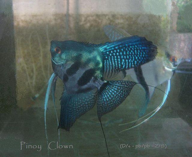 Pin By Mandy Harding On Angelfish And Discus Angel Fish Tropical Fish Aquarium Saltwater Aquarium Fish
