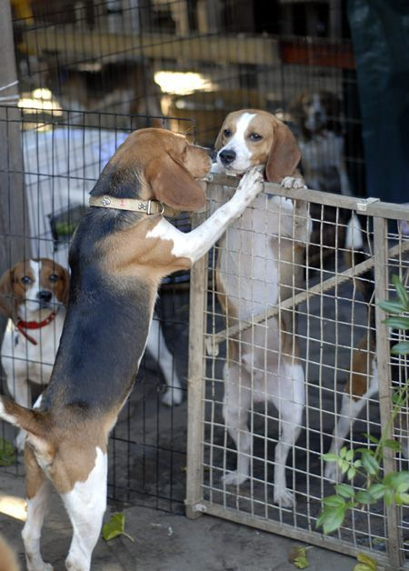 Beagles Interacting With Each Other For The First Time After Being