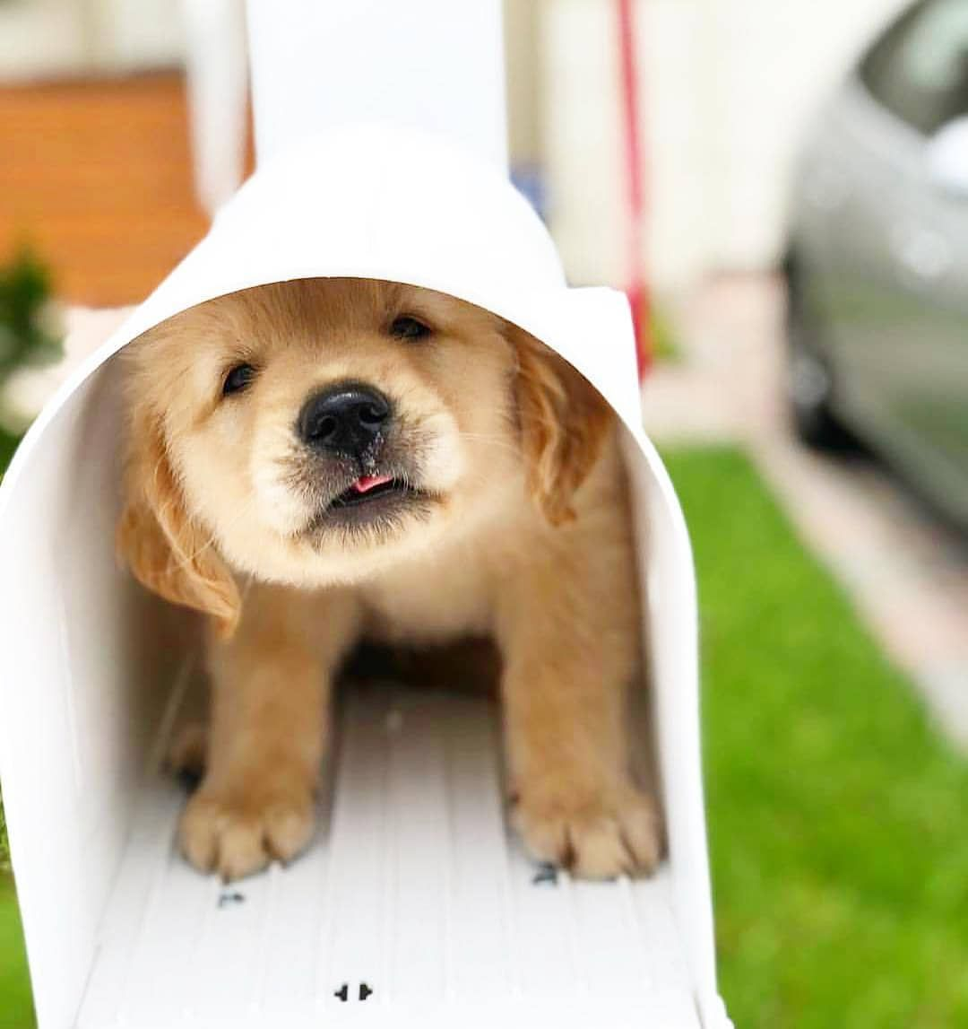 Nugget Mail Follow Officialgoldenretriever