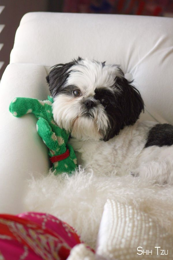 Shih Tzus Pup Shihtzumix Shihtzumom Cutest Dog Ever Shih Tzu Cute Dogs
