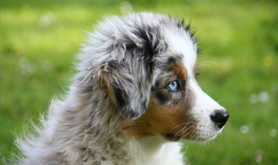 Miniature American Shepherd Active Companion And Loyal Friend