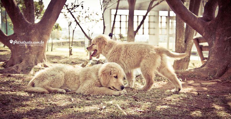 Fotografia de Goldens Retrievers - Lion e Cheetara | Pet Retrato - Fotografia cães, foto gatos, foto pet, Foto cães, fotografia animal, book cachorro, álbum cachorro, pet book