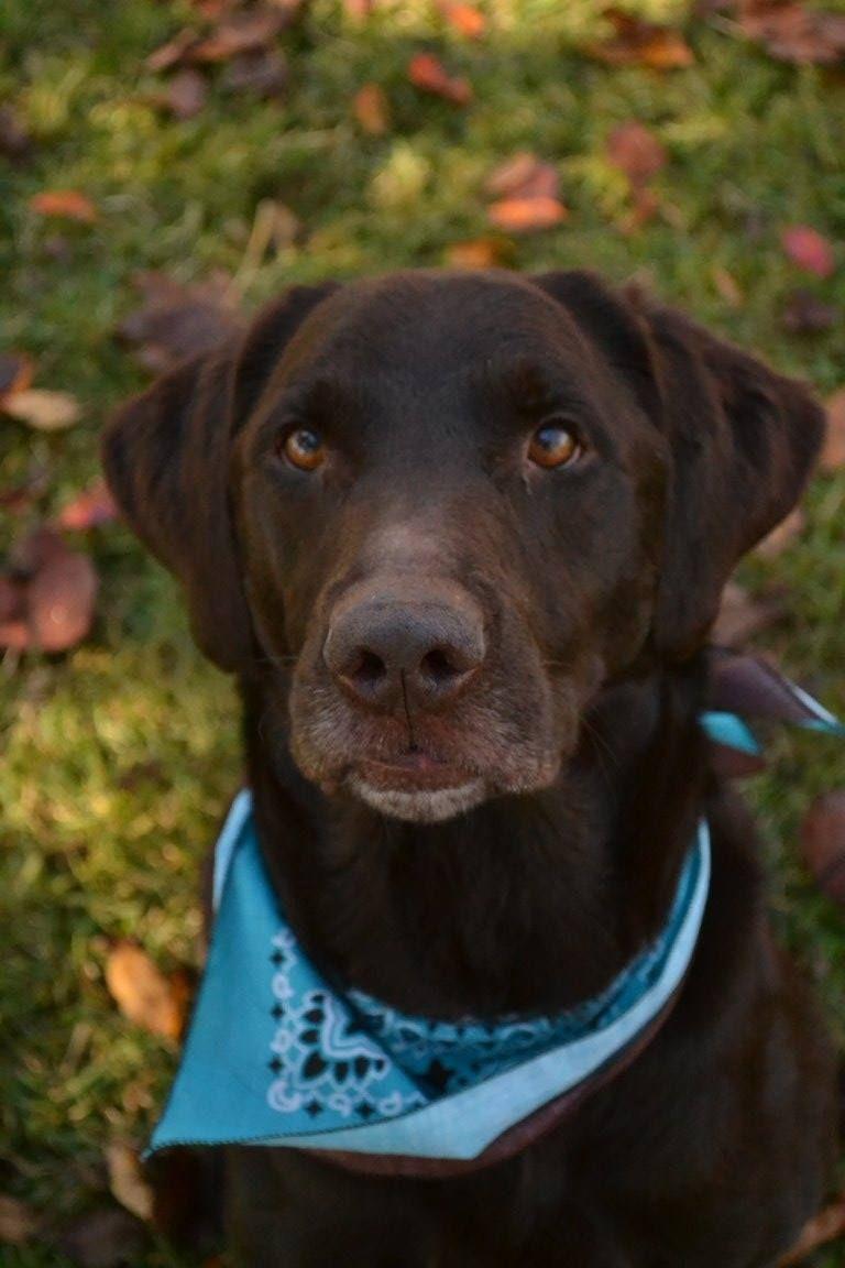 Labrador Retriever dog for Adoption in Temple, GA. ADN