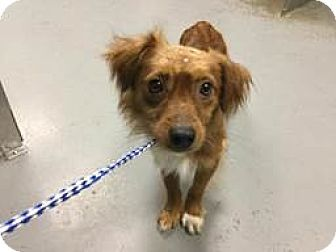 New Jersey Nj Chihuahua Dachshund Mix Meet Bordentown Nj Chichi S A Dog For Adoption Http Www Adoptapet Co Dog Adoption Pets Labradoodle Goldendoodle
