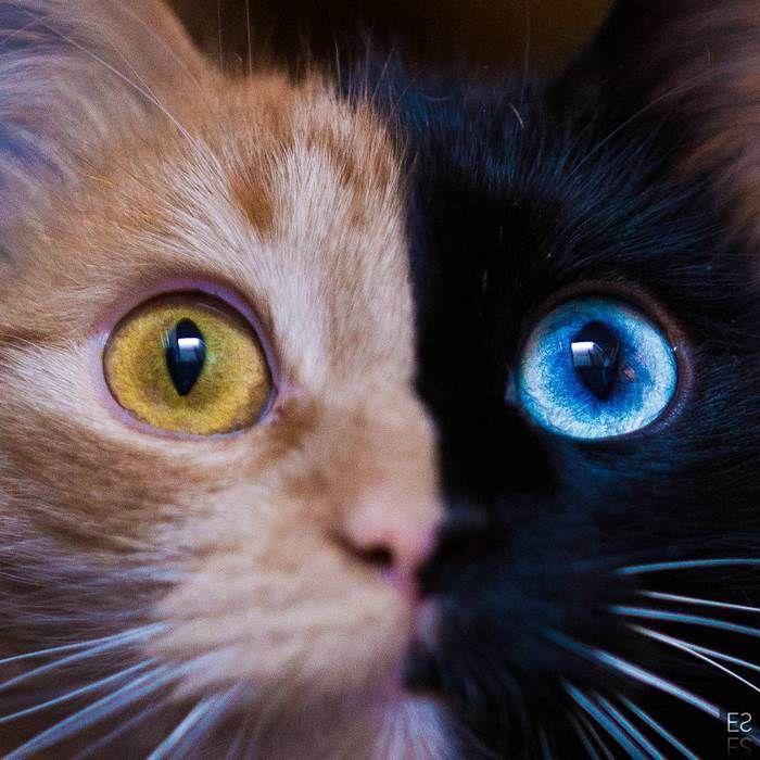 Resultado de imagem para gatos quimera com heterocromia